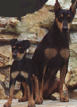 German Pinscher Kinrha Hinnie Joy and GP pup
